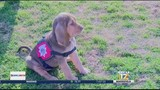 Search and Rescue's new bloodhound puppy could save lives
